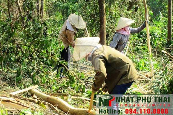 Giá dăm gỗ tăng, người trồng rừng hứng khởi